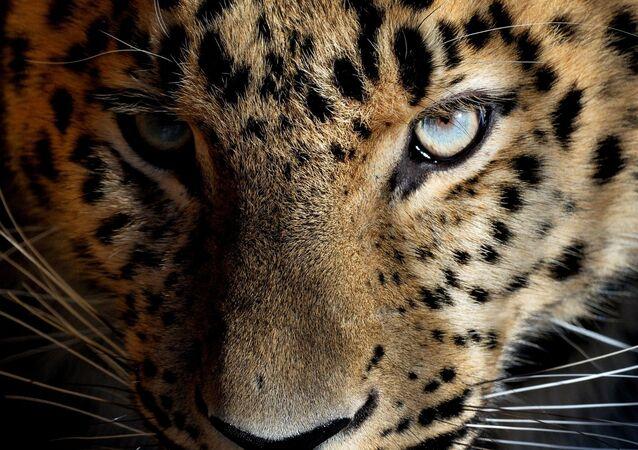 Leopard. Ilustrační foto