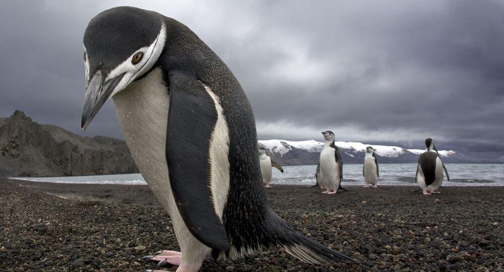 Domorodí obyvatelé Antarkidy - tučňáci
