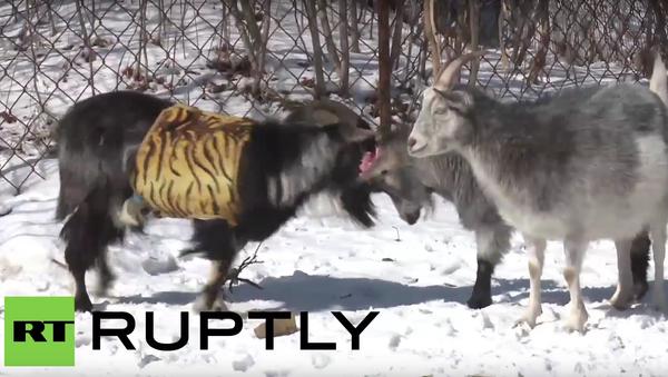 Koza jménem Merkelová trkala druhou uchazečku o srdce Timura - Sputnik Česká republika