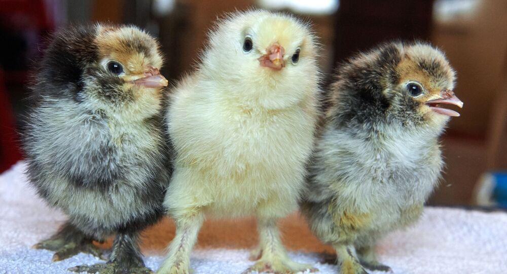 Kuřata. Ilustrační foto