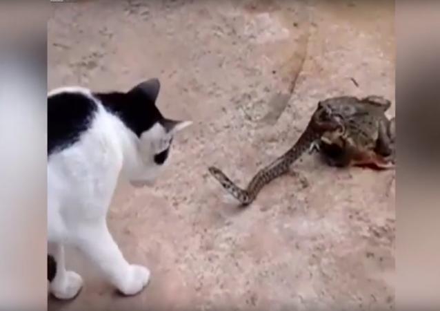 Kočka se poprala s hadem, jehož už z poloviny pohltila ropucha