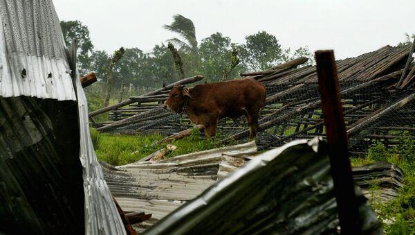 Kráva na západě Kuby - Sputnik Česká republika