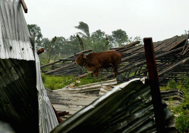 Kráva na západě Kuby