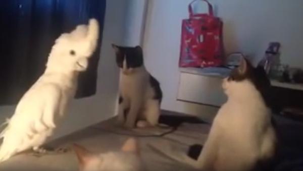 Papouškův úžasný dojem na kočky - Sputnik Česká republika