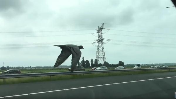 Holub závodí s auty na dálnici. - Sputnik Česká republika