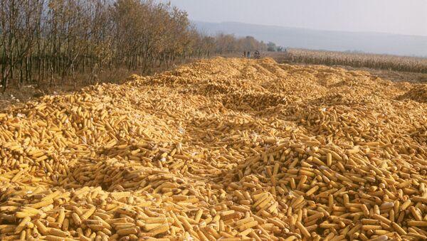 Úroda kukuřice na Ukrajině - Sputnik Česká republika