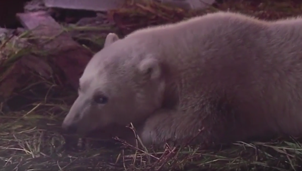 Záchrana medvídka na Šmidtově ostrově. VIDEO - Sputnik Česká republika