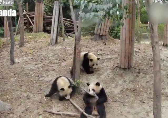 Panda upadla a všechny vystrašila. VIDEO