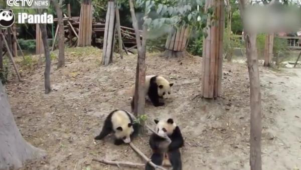 Panda upadla a všechny vystrašila. VIDEO - Sputnik Česká republika