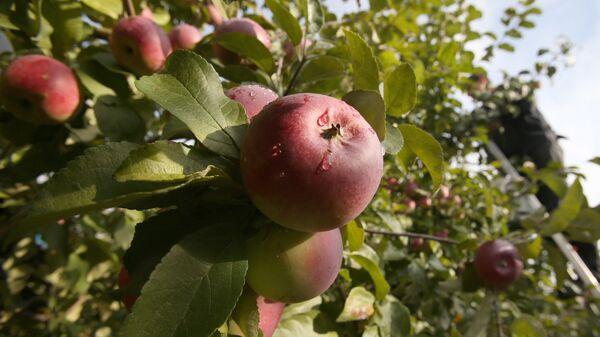 Úroda jablek v Bělorusku - Sputnik Česká republika