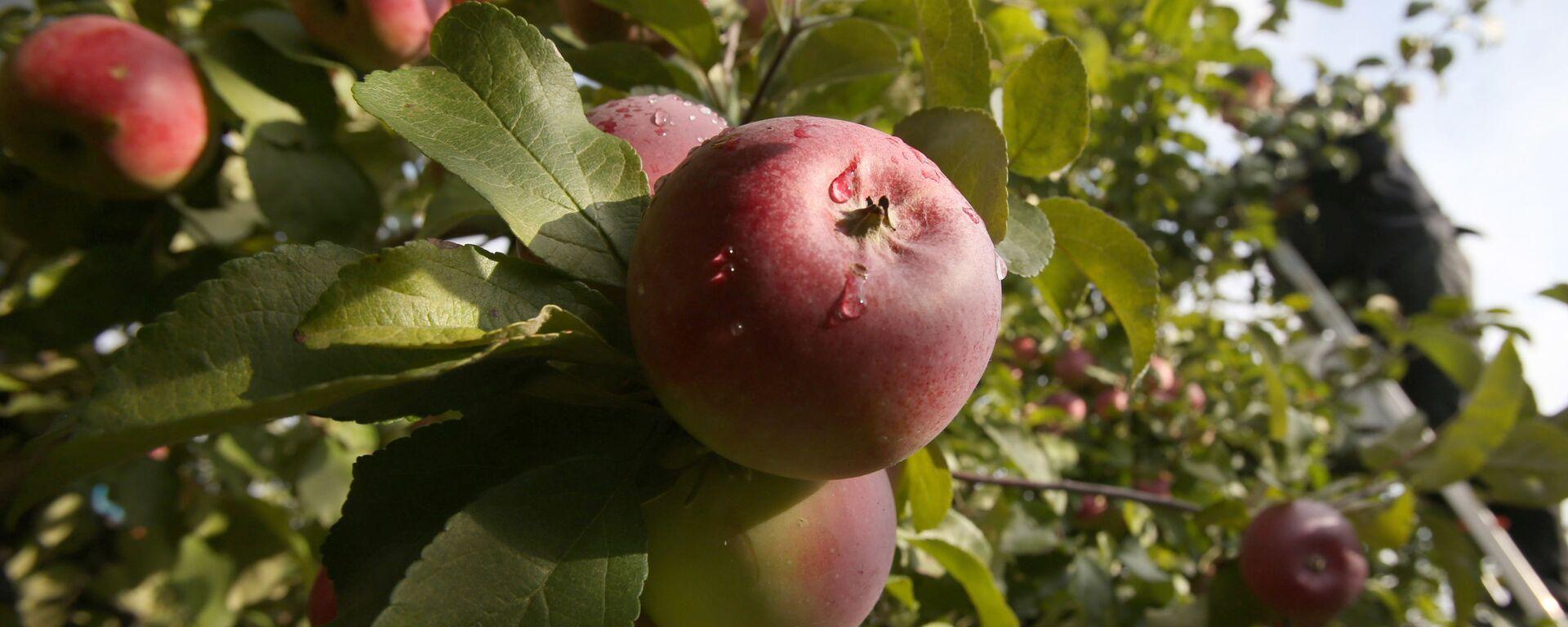 Úroda jablek v Bělorusku - Sputnik Česká republika, 1920, 03.05.2021