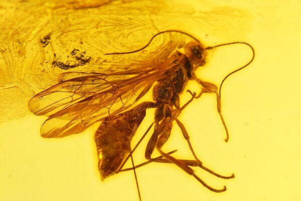 Zkamenělý hmyz v jantaru - Sputnik Česká republika
