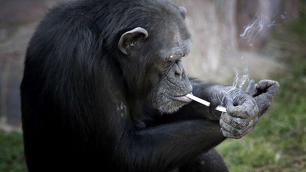 Kouřící opice v pchjongjangské zoo, KLDR - Sputnik Česká republika