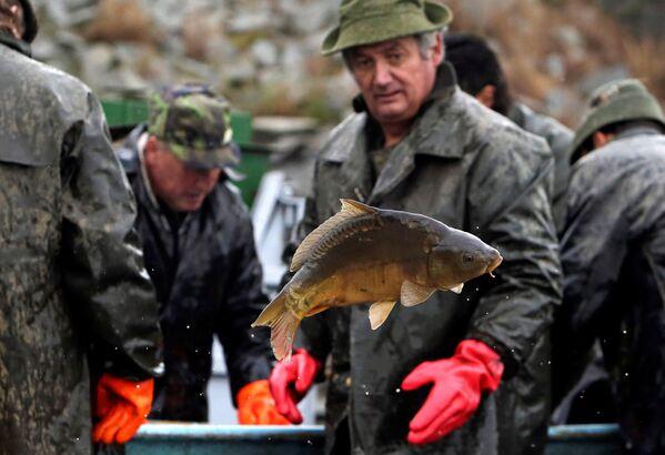 Lov kapra: jak se Česko připravuje k Vánocům - Sputnik Česká republika