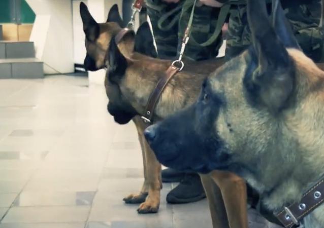 V Jakutsku budou ve službě psí klony