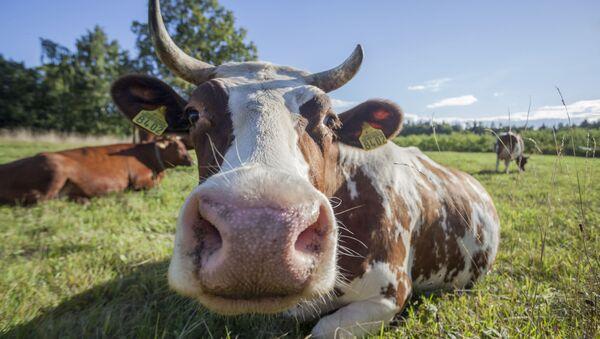 Krávy - Sputnik Česká republika