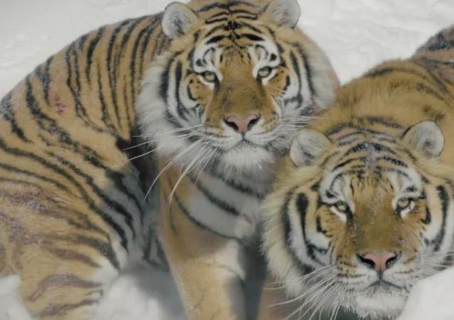 Tygři lovící bezpilotní letadlo