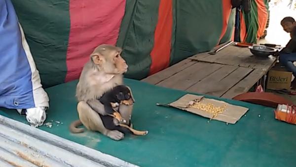 Indická opice se rozhodla vychovávat štěně bez domova - Sputnik Česká republika