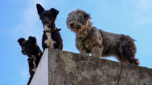 Psi z ostrova Faial - Sputnik Česká republika
