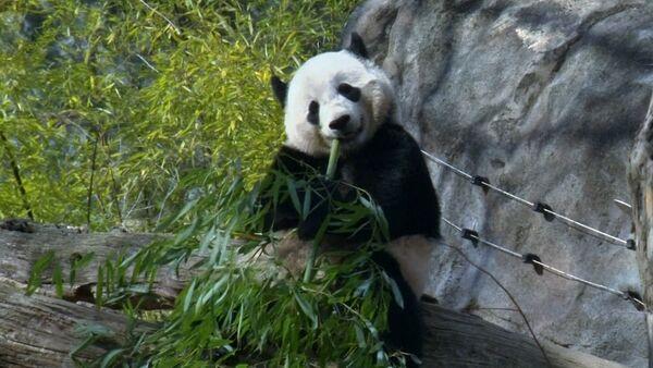 Ve Washingtonu se loučí s pandou Bao Bao - Sputnik Česká republika