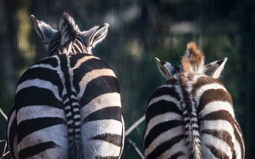 Zebry v dortmundské zoo, západní Německo