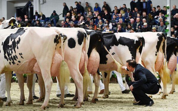 Soudce hodnotí účastnice soutěže krásy krav na výstavě Schau der Besten v německém Ferdenu - Sputnik Česká republika