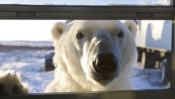 Lední medvěd - Sputnik Česká republika