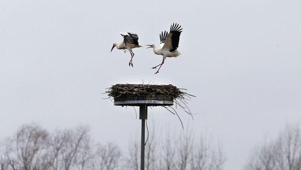 Čáp vyhání soupeře ze svého hnízda na jih od Frankfurtu, Německo - Sputnik Česká republika