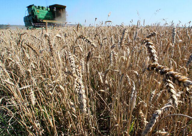 Sklizeň obilí v Kaliningradské oblasti