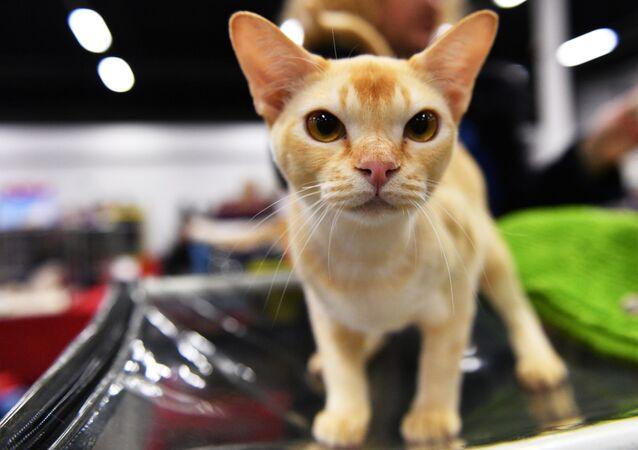 Kočka na výstavě v Moskvě