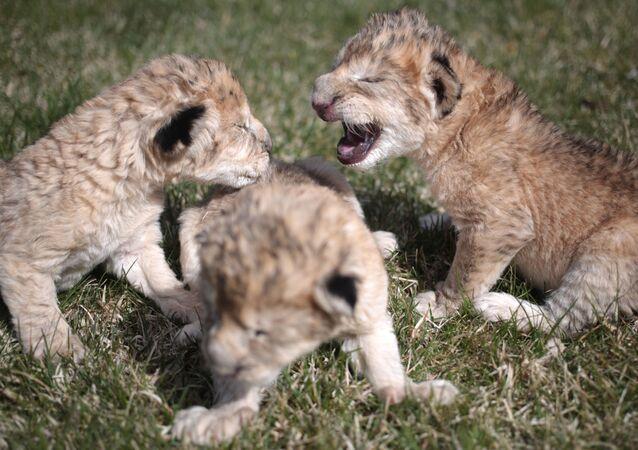 Novorození lvíčata v Bělohorském parku lvů Tajgan