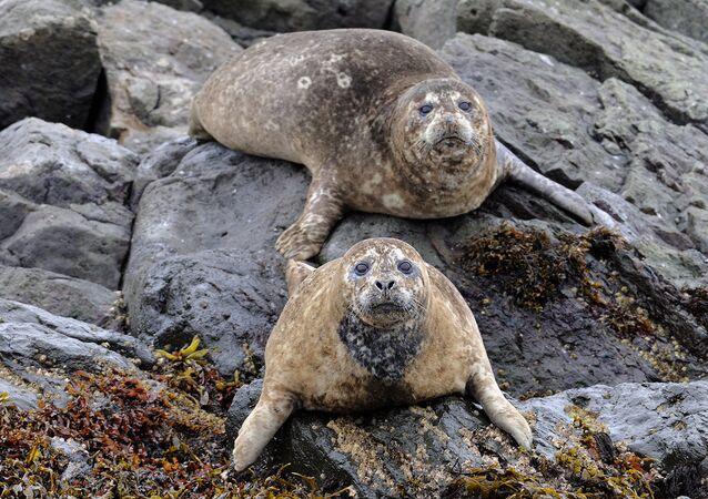 Na Kamčatce se vyskytuje vzácný druh tuleně obecného, jehož délka těla dosahuje dvou metrů. To je jeden z největších druhů tuleňů