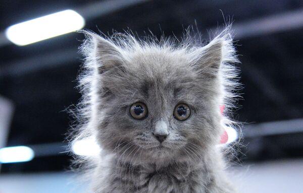 Kočka rasy britská dlouhosrstá na mezinárodní výstavě Pohár Valencie – Jaro v Moskvě - Sputnik Česká republika