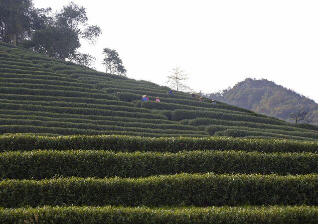 Čajová plantáž v Číně