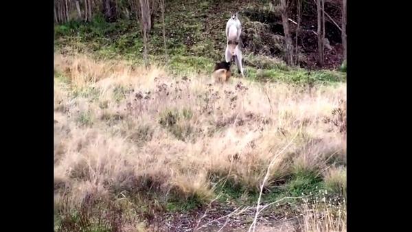 V Austrálii policista rozehnal peroucího se klokana se psem - Sputnik Česká republika