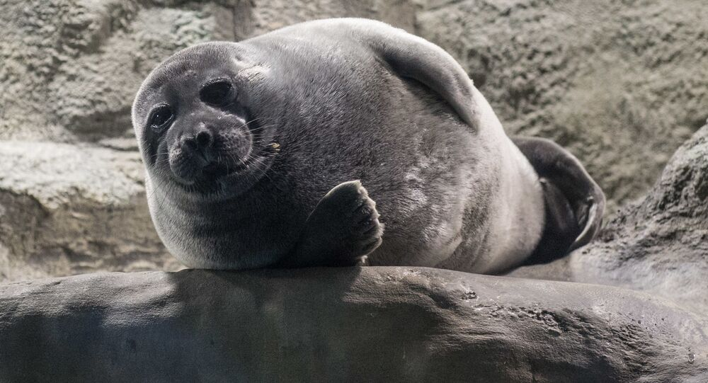 Tuleň v Moskevském zoo
