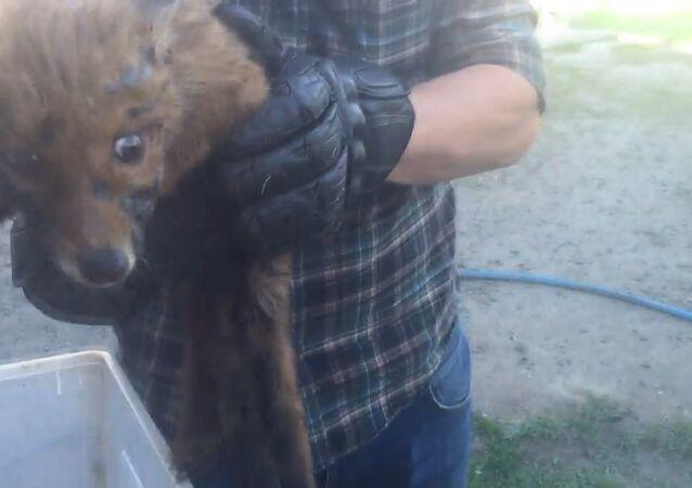 Adrenalinoví sportovci vysvobodili z bitumenového zajetí liščí mládě