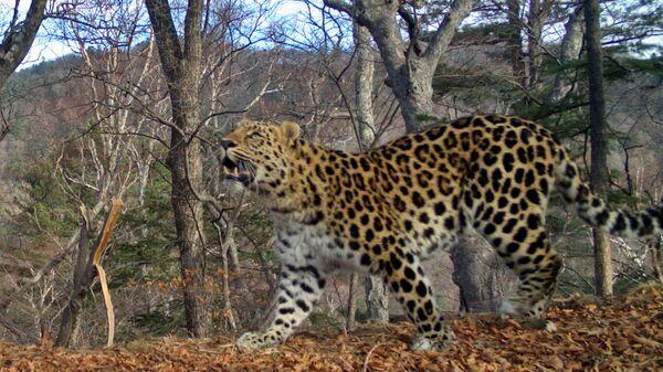 Samec dálněvýchodního leoparda Leo 64M  - Sputnik Česká republika