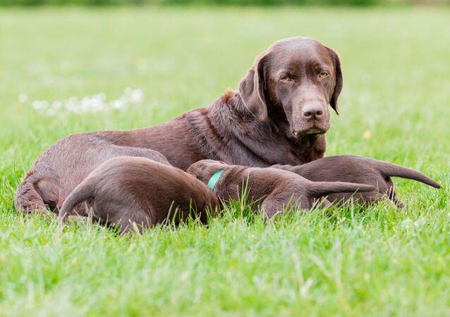 Labradorský retrívr a jeho štěňata