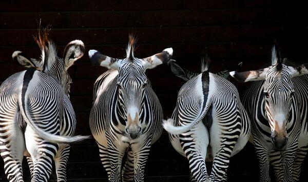 Zebry v zoo Aušpurku, Německo - Sputnik Česká republika