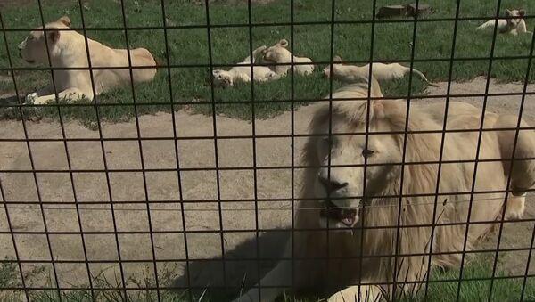 V České ZOO Borovany se narodilo pět bílých lvů najednou - Sputnik Česká republika