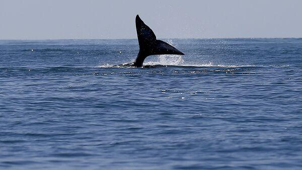 Ocas velryby - Sputnik Česká republika