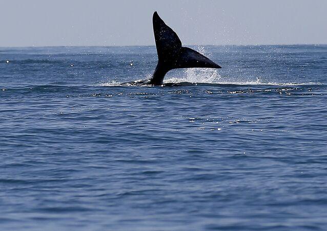 Ocas velryby