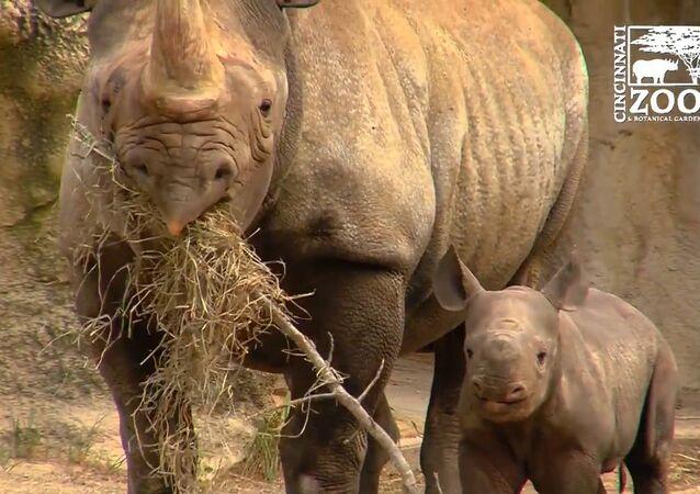 Mládě vymírajícího dvourohého nosorožce Candy
