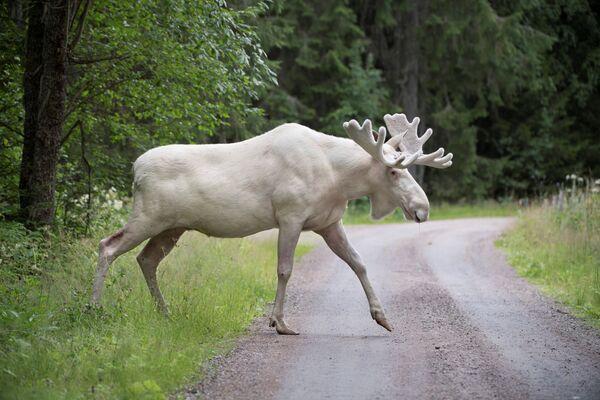 Vzácný bílý los v provincii Varmland, Švédsko - Sputnik Česká republika