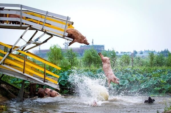 Prasata skákají do vody z můstku na farmě pro chov prasat v provincii Liao-ning, Čína - Sputnik Česká republika