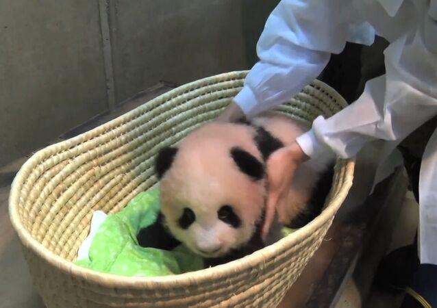 Tříměsíční panda z tokijské zoo