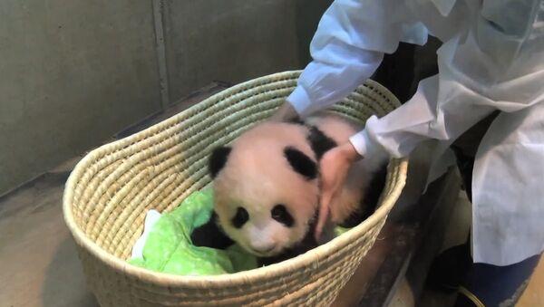 Tříměsíční panda z tokijské zoo - Sputnik Česká republika