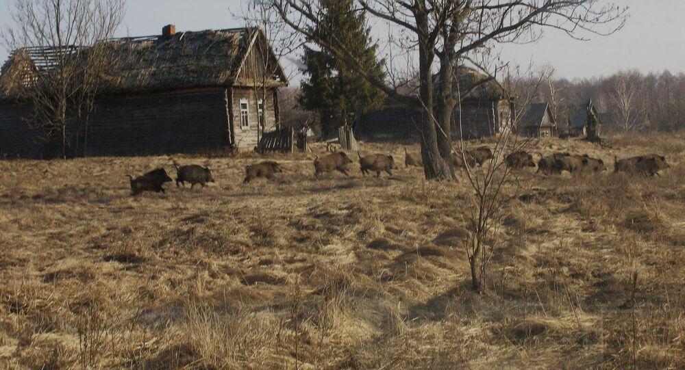 Divoká prasata v uzavřené zóně Černobylu