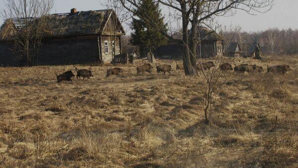 Divoká prasata v uzavřené zóně Černobylu - Sputnik Česká republika